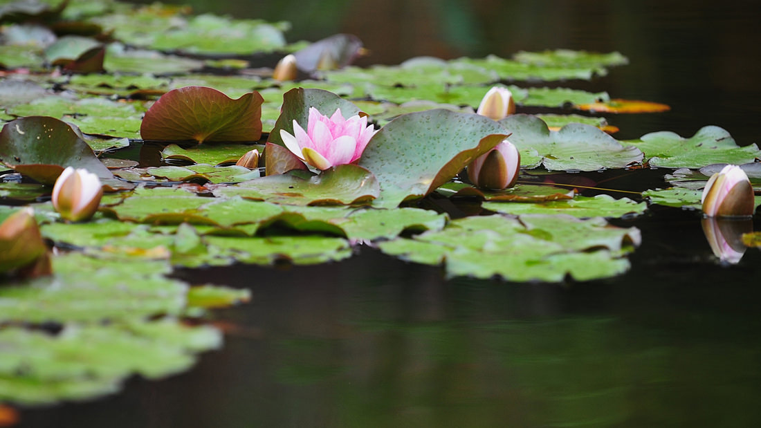Blühende Seerosen zeigen die Schönheit der Natur