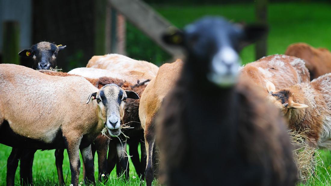 Kamerun-Schafe genießen ihr glückliches Tierleben auf dem schönen Hof